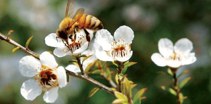 マヌカの蜜を集めるみつばち